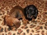 Собаки, щенята Жорсткошерста такса, ціна 300 Грн., Фото