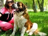 Собаки, щенята Сенбернар, ціна 4000 Грн., Фото