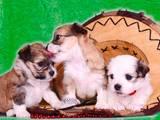 Собаки, щенята Кольорова болонка, ціна 1780 Грн., Фото