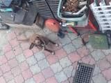 Собаки, щенята Карликовий пінчер, ціна 15 Грн., Фото