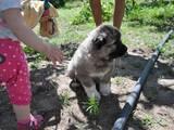 Собаки, щенята Кавказька вівчарка, ціна 3500 Грн., Фото