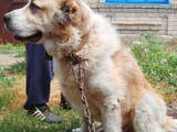 Собаки, щенята Кавказька вівчарка, ціна 1500 Грн., Фото