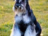 Собаки, щенки Цвергшнауцер, Фото