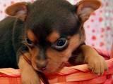 Собаки, щенята Російський гладкошерстий тойтерьер, ціна 4000 Грн., Фото