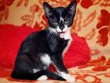 Кішки, кошенята Екзотична короткошерста, ціна 2 Грн., Фото