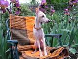 Собаки, щенята Левретка, ціна 6500 Грн., Фото