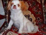 Собаки, щенки Японский хин, цена 1000 Грн., Фото