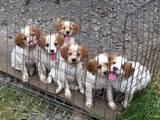 Собаки, щенята Різне, ціна 6 Грн., Фото