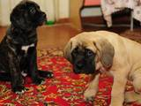 Собаки, щенки Английский мастиф, цена 5000 Грн., Фото
