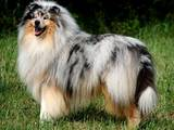 Собаки, щенята Довгошерстий коллі, ціна 4000 Грн., Фото
