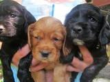Собаки, щенки Английский коккер, цена 700 Грн., Фото