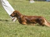 Собаки, щенята Довгошерста такса, ціна 3800 Грн., Фото