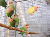 Попугаи и птицы Попугаи, цена 120 Грн., Фото