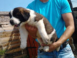 Собаки, щенки Московская сторожевая, цена 1200 Грн., Фото