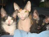 Кішки, кошенята Донський сфінкс, ціна 500 Грн., Фото