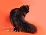 Кошки, котята Норвежская лесная, цена 3000 Грн., Фото