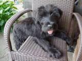 Собаки, щенята Різеншнауцер, ціна 2900 Грн., Фото