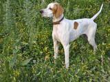 Собаки, щенки Английский пойнтер, цена 3500 Грн., Фото