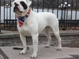 Собаки, щенки Американский бульдог, цена 4000 Грн., Фото