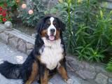 Собаки, щенята Гірський собака Берна, ціна 4000 Грн., Фото