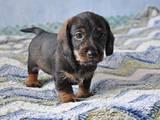 Собаки, щенки Жесткошерстная такса, цена 920 Грн., Фото