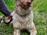 Собаки, щенята Бордерколлі, ціна 450 Грн., Фото