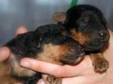 Собаки, щенки Эрдельтерьер, цена 5000 Грн., Фото
