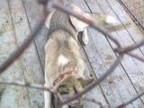 Собаки, щенята Східно-сибірська лайка, ціна 100 Грн., Фото