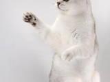 Кошки, котята Шиншилла, цена 1000 Грн., Фото