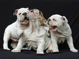 Собаки, щенки Английский бульдог, цена 12000 Грн., Фото