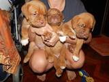 Собаки, щенки Бордосский дог, цена 5000 Грн., Фото