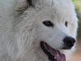 Собаки, щенята Самоїдом, ціна 3000 Грн., Фото