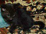 Кішки, кошенята Європейська короткошерста, ціна 20 Грн., Фото