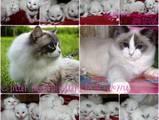 Кішки, кошенята Регдолл, ціна 10000 Грн., Фото