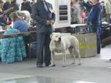 Собаки, щенята Американський бульдог, ціна 500 Грн., Фото