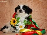 Собаки, щенки Цветная болонка, цена 2500 Грн., Фото