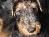 Собаки, щенята Ердельтер'єр, ціна 6000 Грн., Фото