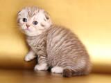 Кошки, котята Экзотическая короткошерстная, цена 5000 Грн., Фото