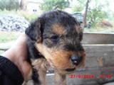 Собаки, щенята Вельштер'єр, ціна 1500 Грн., Фото
