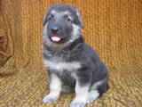 Собаки, щенята Східно-Європейська вівчарка, ціна 5000 Грн., Фото