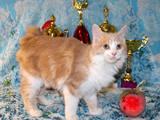 Кошки, котята Курильский бобтейл, цена 1500 Грн., Фото