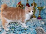 Кішки, кошенята Курильський бобтейл, ціна 1500 Грн., Фото