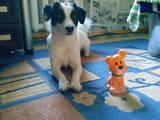 Собаки, щенята Спаровування, ціна 10 Грн., Фото
