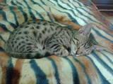Кошки, котята Оцикат, цена 2000 Грн., Фото