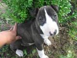 Собаки, щенята Бультер'єр, ціна 3000 Грн., Фото