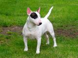 Собаки, щенки Миниатюрный бультерьер, цена 25000 Грн., Фото