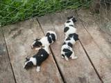 Собаки, щенята Жорсткошерстий фокстер'єр, ціна 2100 Грн., Фото