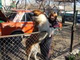 Собаки, щенята Московська сторожова, ціна 1800 Грн., Фото