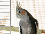 Папуги й птахи Папуги, ціна 240 Грн., Фото