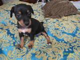 Собаки, щенята Карликовий пінчер, ціна 2500 Грн., Фото